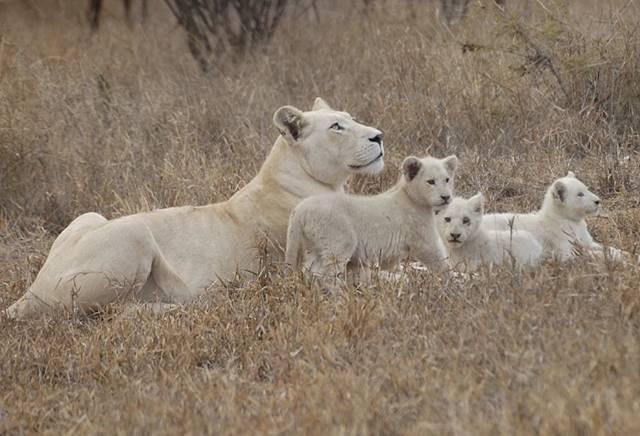 Белый лев фото
