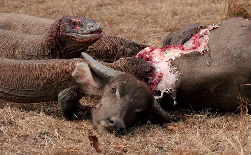 Варан с острова Комодо ест буйвола