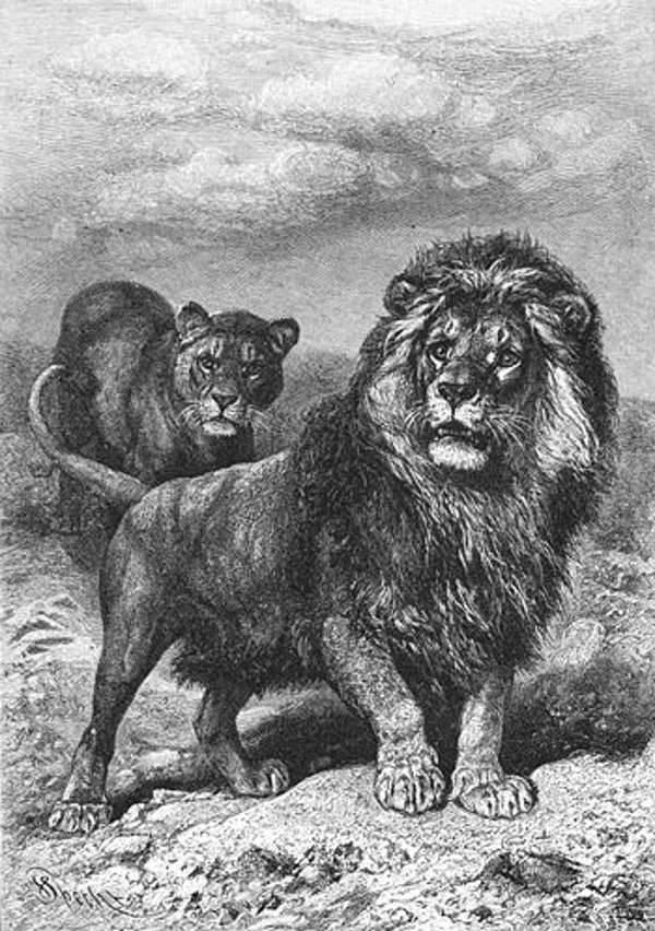 Вымерший капский лев фото