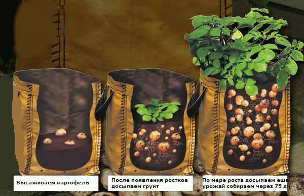 Выращивание картофеля фото