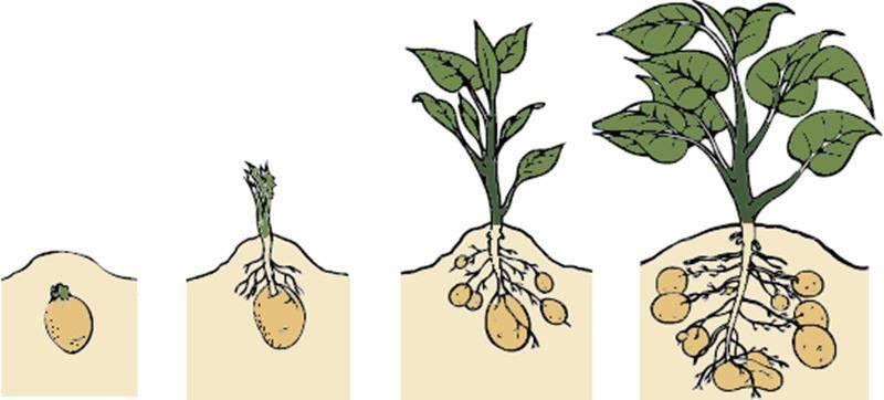 Види картоплі