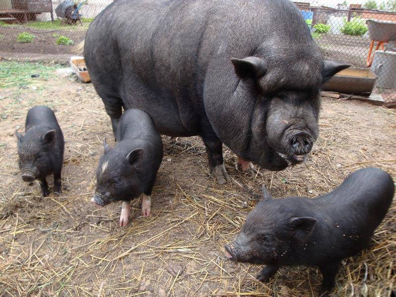 Вьетнамская домашняя свинья