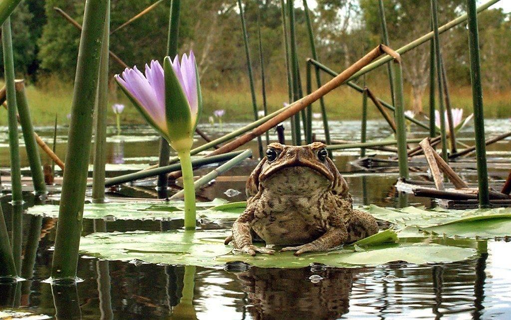 Где обитает жаба ага