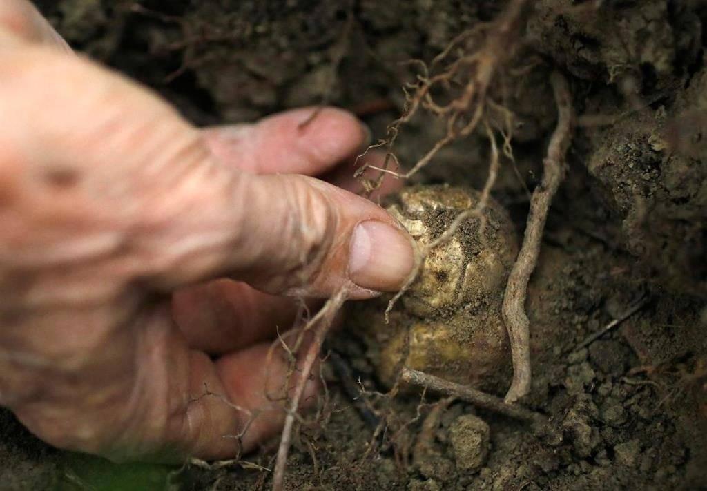 Выращивание трюфеля в домашних условиях