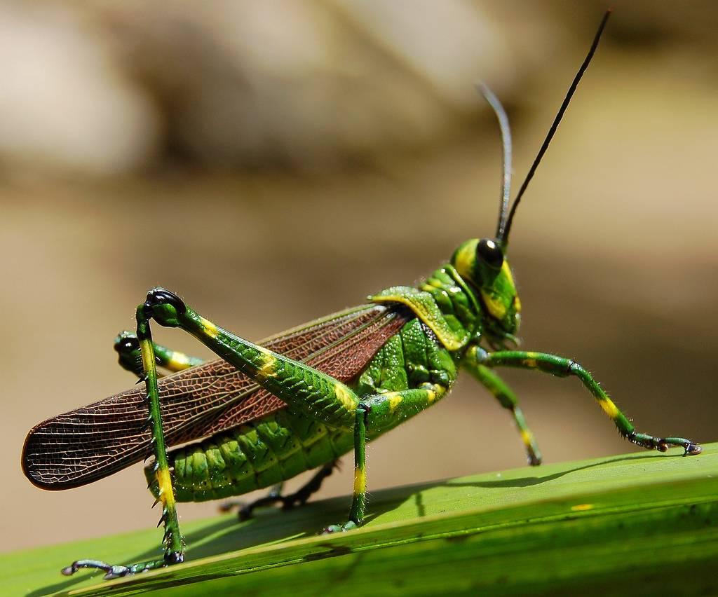 фото зелёного дленоусого кузречика