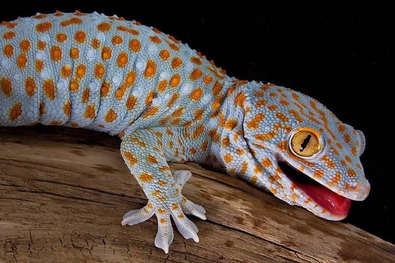 Геккон Токи Gekko gecko