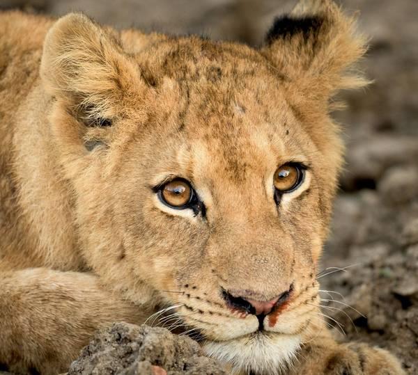 Глаза льва фото