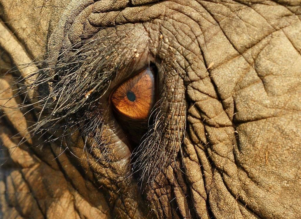 Глаз индийского слона