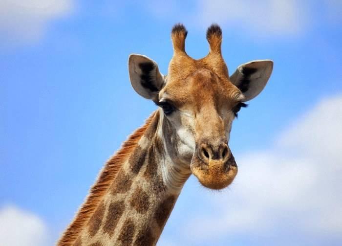 Голова жирафа фото