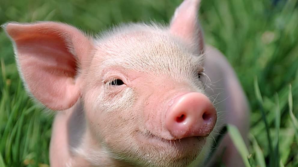 Голова свиньи фото