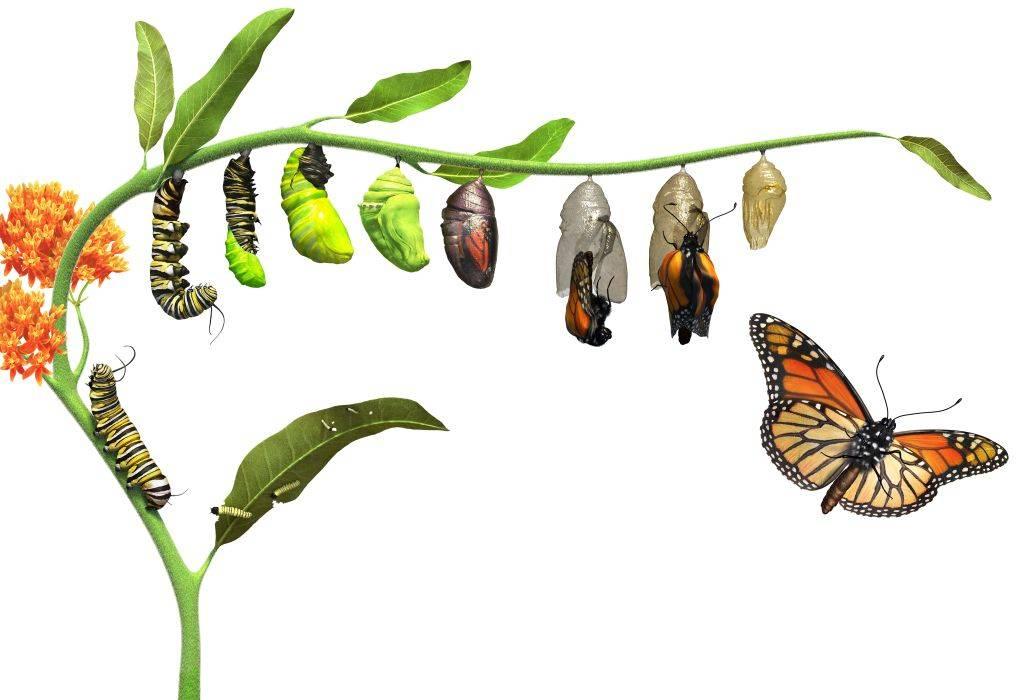 Гусеница превращается в бабочку фото