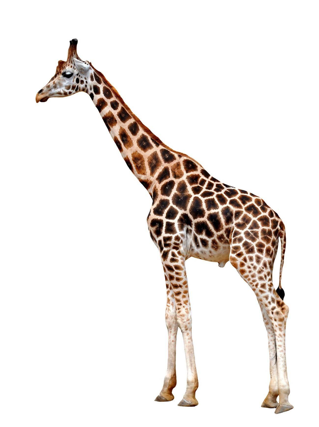 сколько весит сердце жирафа