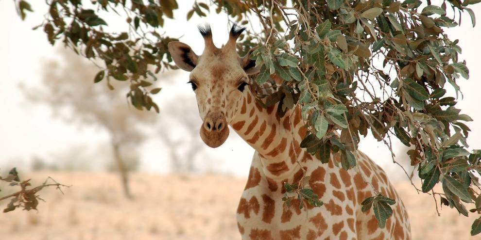 Западноафриканский жираф