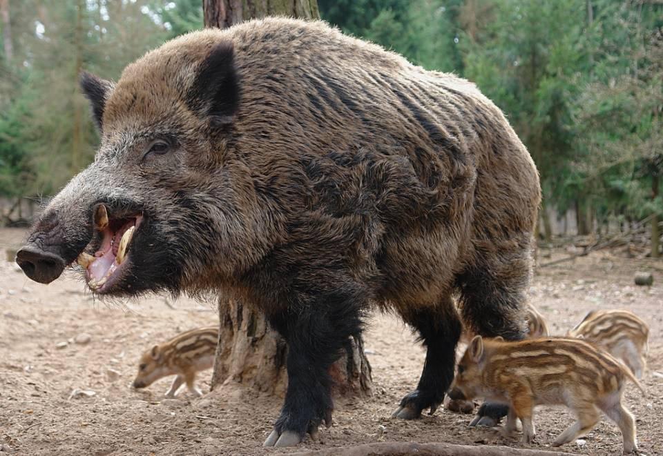 Кабан или дикая свинья