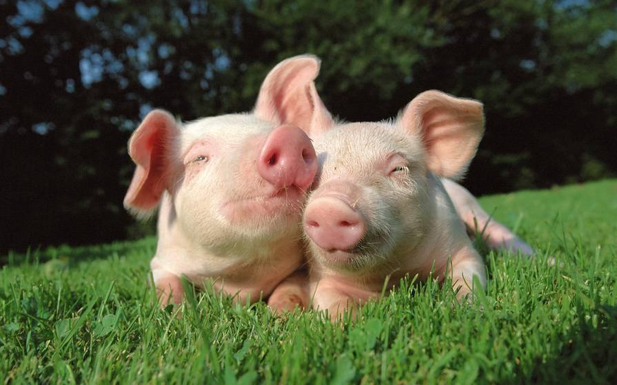 Как выглядит свинья фото