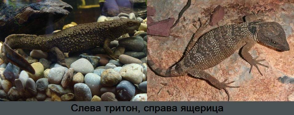 Как отличить тритона от ящерицы