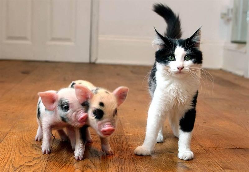 Карликовая свинья фото