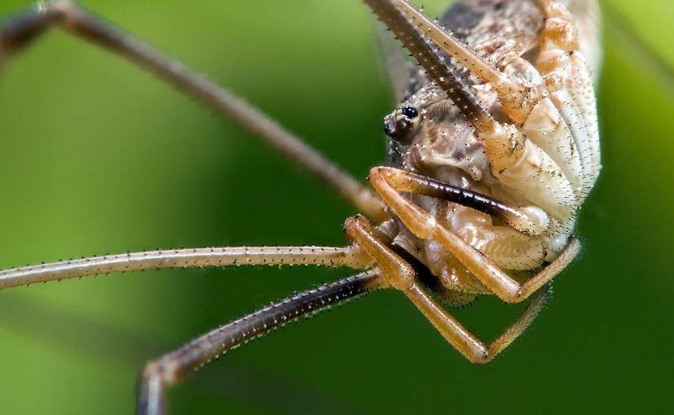 Косиножка (Opiliones Phalangida) фото