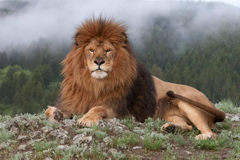 Лев, который возможно происходит от берберийского льва (барбарийского льва)
