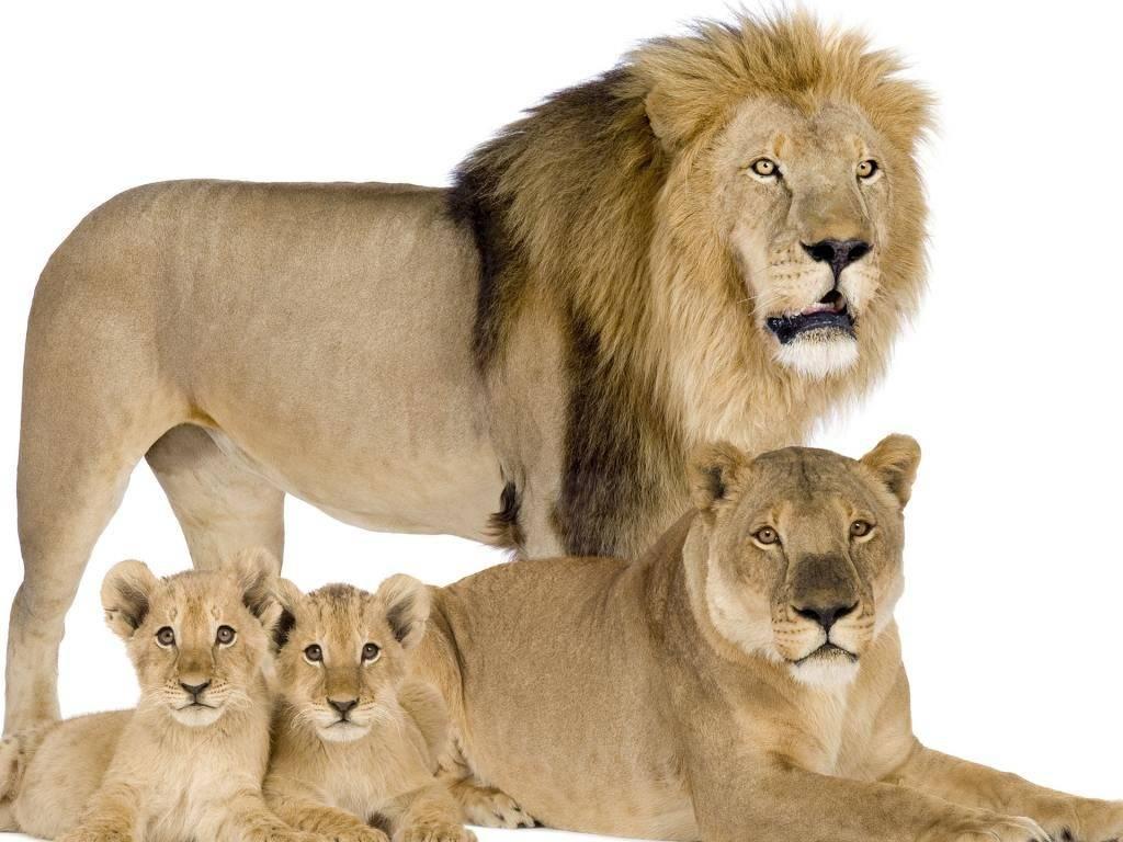 Лев, львица и львята