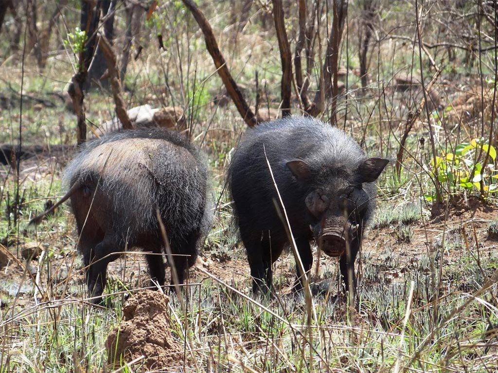 Лесная большая свинья