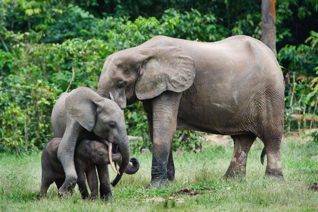 Лесной африканский слон