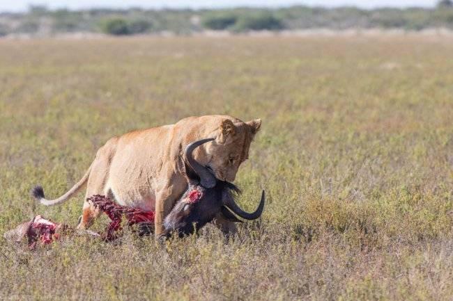 Львица ест добычу