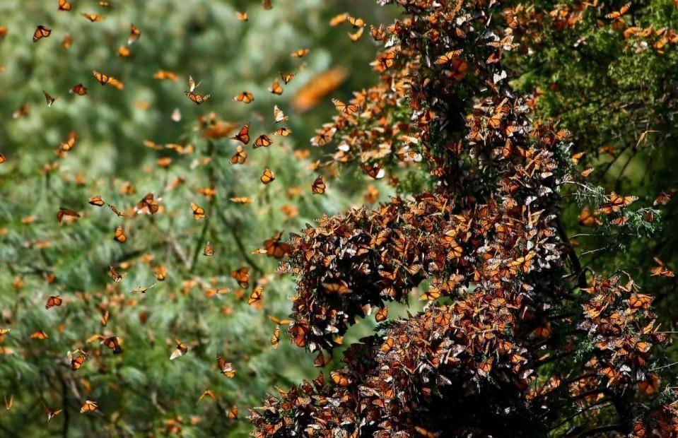 Миграция бабочек монархов в теплые края