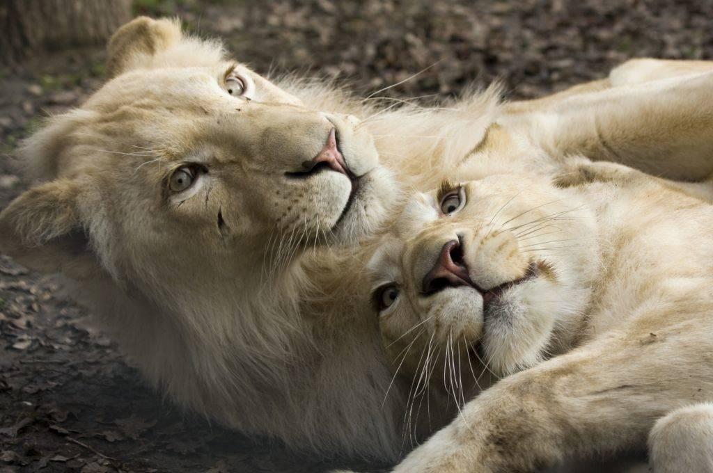 Молодые львы фото