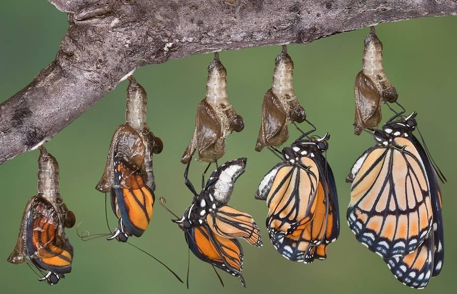 Превращение куколки в бабочку (имаго)