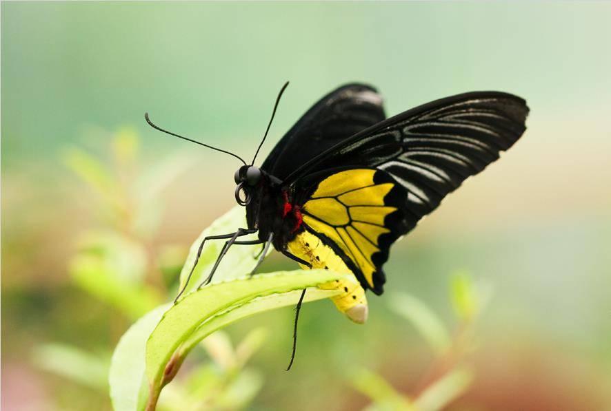 Птицекрыл королевы Александры (Ornithoptera alexandrae)