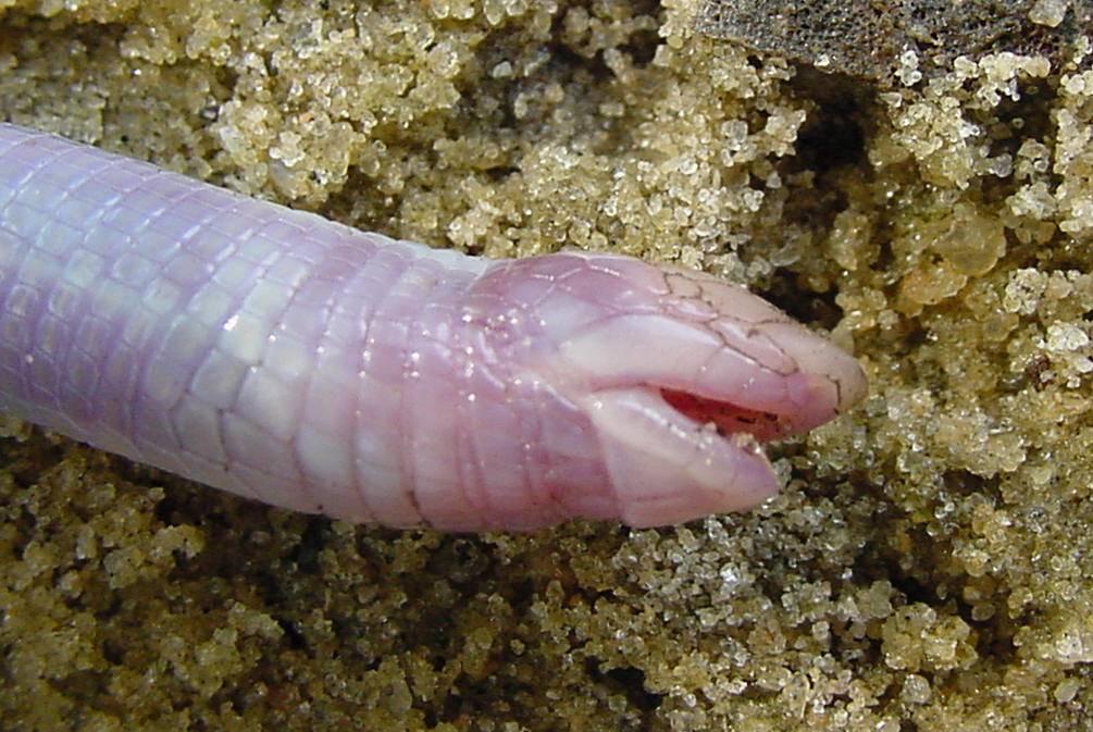 Рот червеобразной ящерицы, похожей на змею