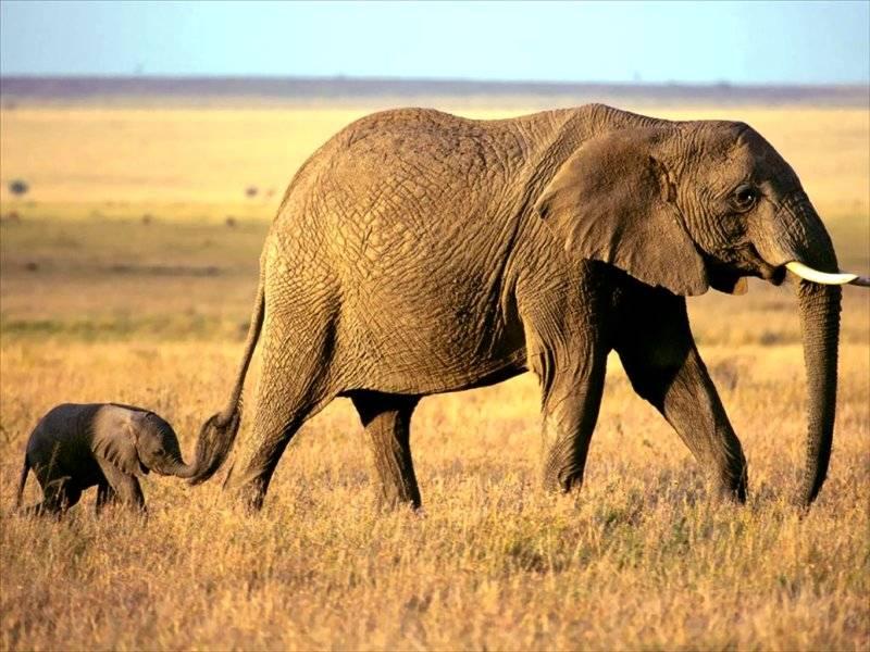Слоненок держит маму за хвост, чтобы не потеряться