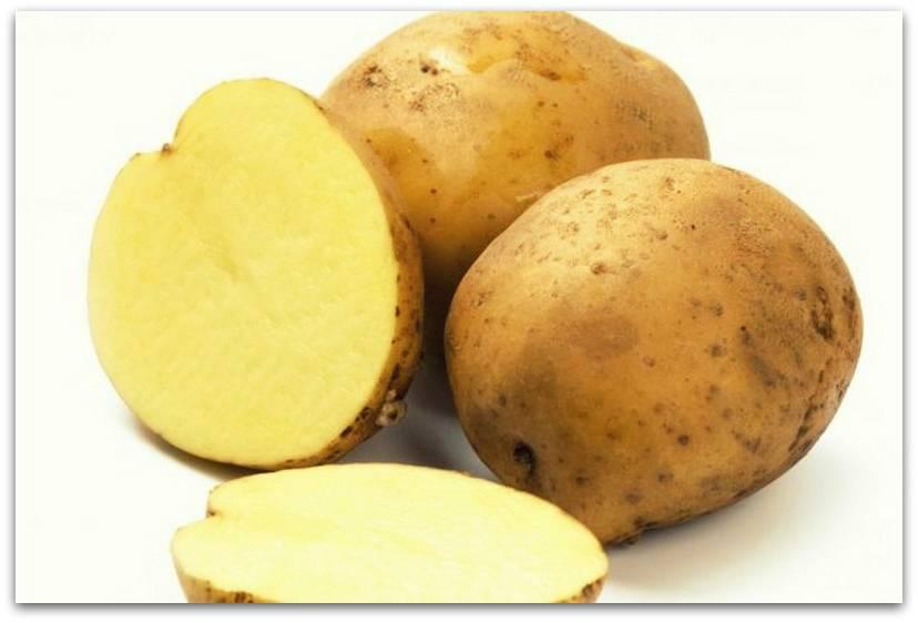 Сорт картофеля Альпинист фото