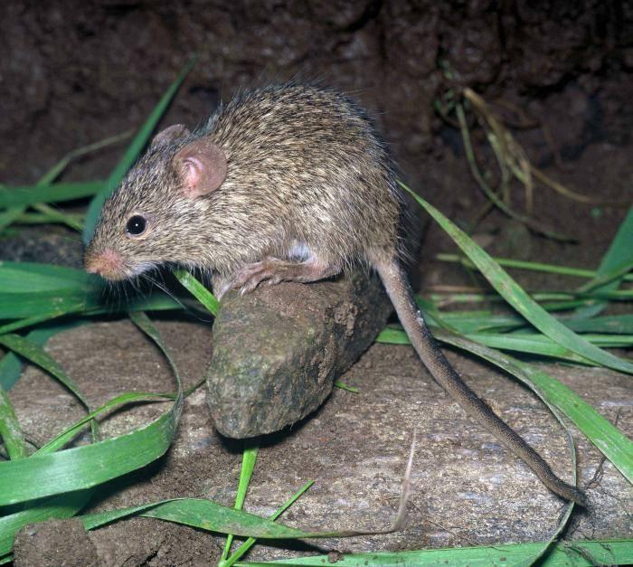 Травяная мышь