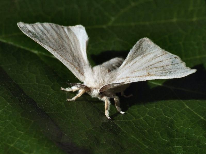 Тутовый шелкопряд (Bombyx mori)