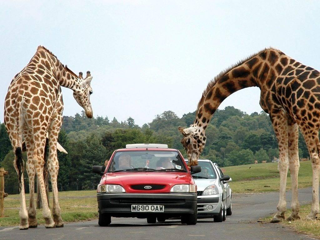 Фото жирафа
