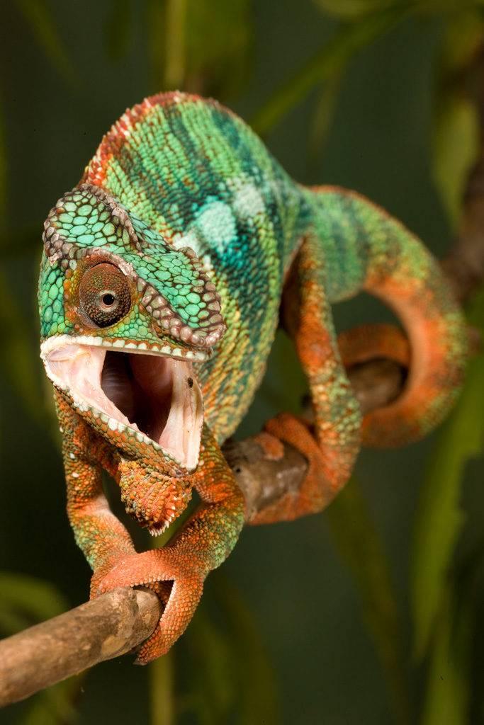 Хамелеон – ящерица, меняющая цвет