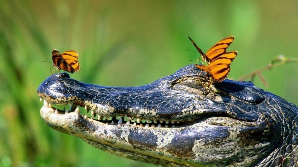 Чем питаются бабочки