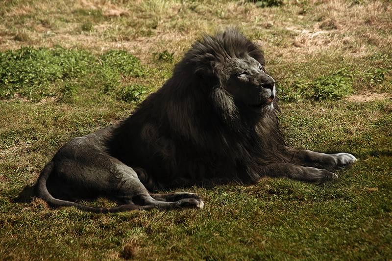 Черный лев фото