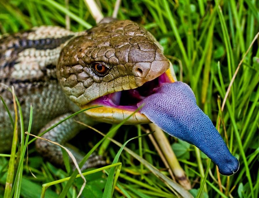 Язык ящерицы синеязыкий сцинк