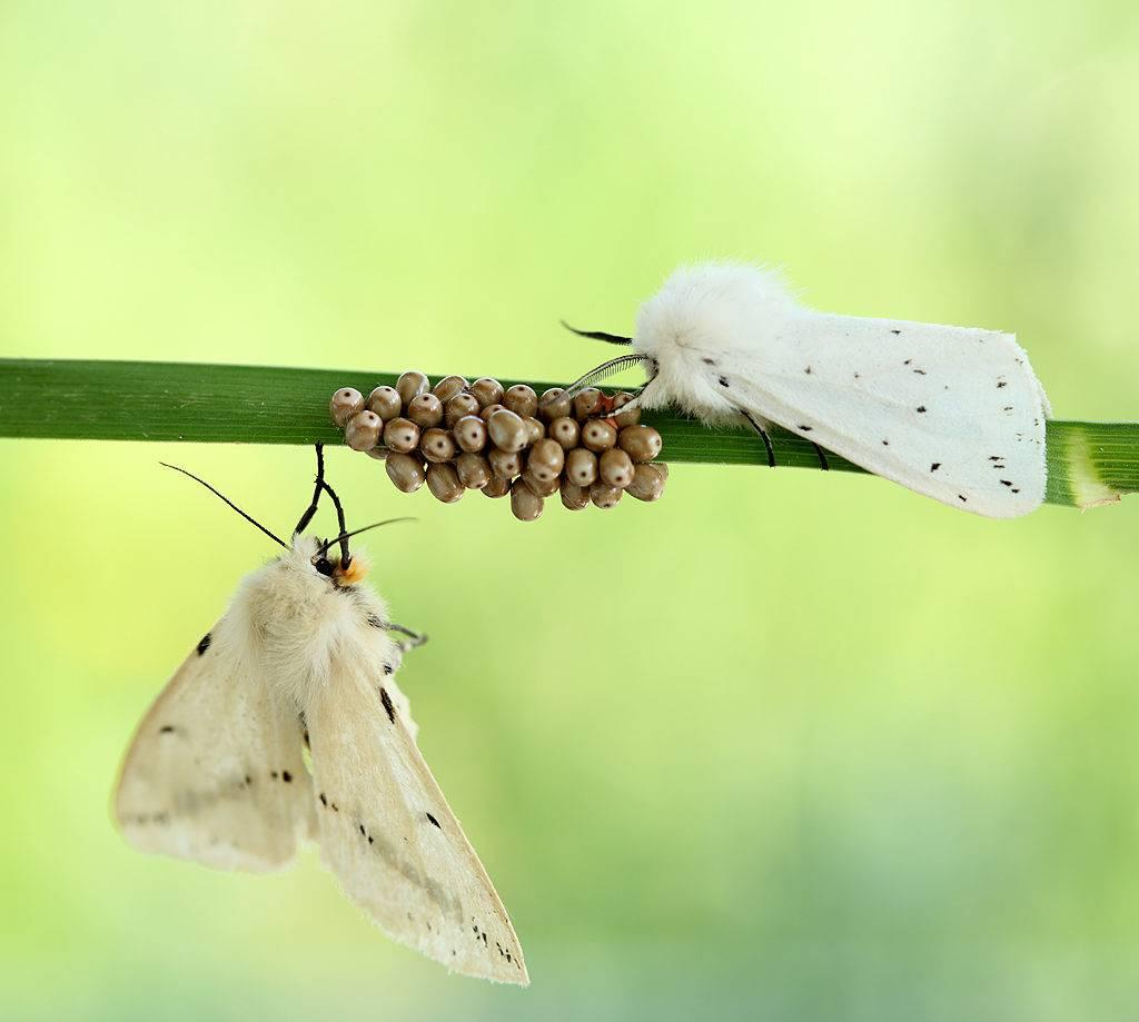 Яйца бабочек фото