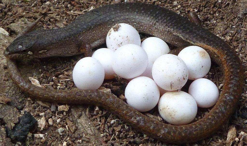 Яйца ящерицы