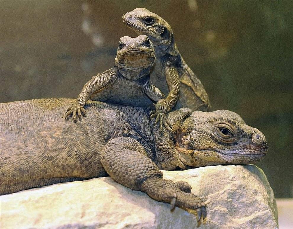 Ящерица и детеныши