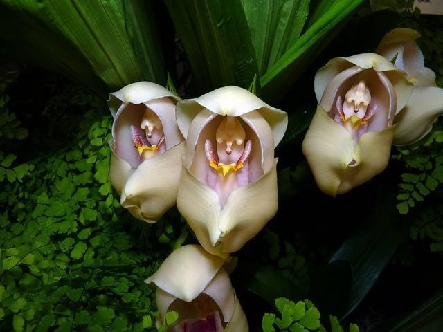 Ангулоя одноцветковая (Anguloa uniflora)