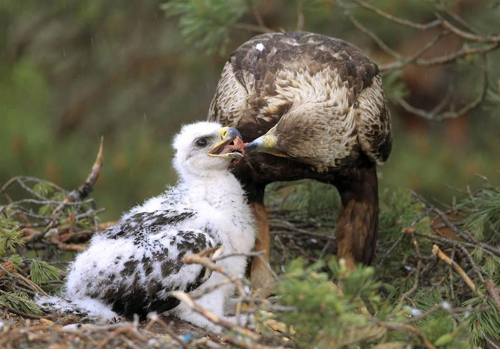 Беркут кормит птенца