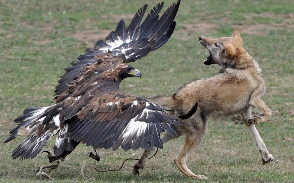Большой орел нападает на собаку