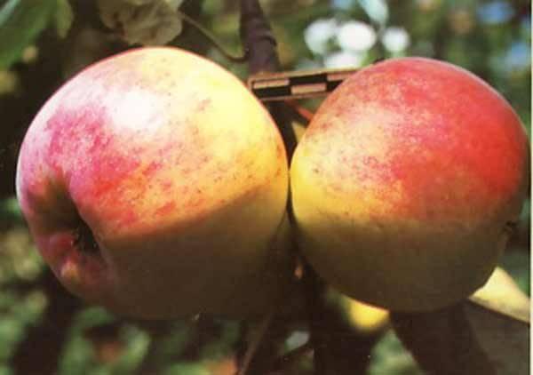 Высокозимостойкий сорт яблони Скрыжапель