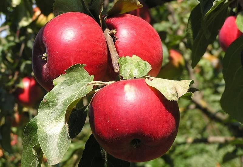 Высокорослый сорт яблок Подарок графскому