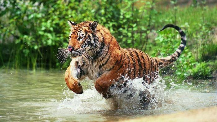 Где живут тигры